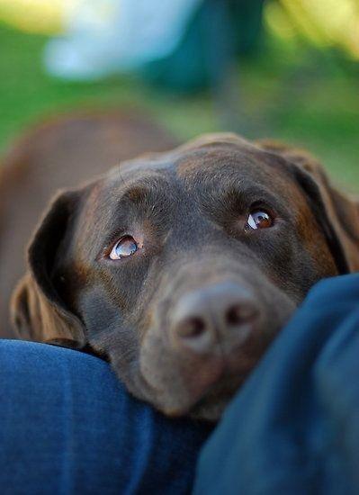 "Beautiful Chocolate Lab. I miss Mocha putting her beautiful head on my lap and giving me those eyes - ""pet me?"""