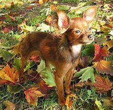 Petit chien russe — Wikipédia