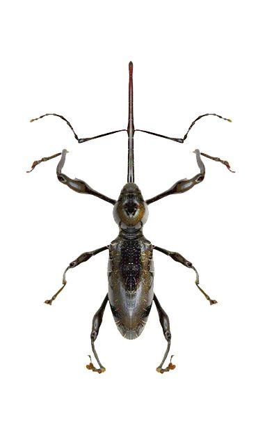 Hammatostylus consimilis