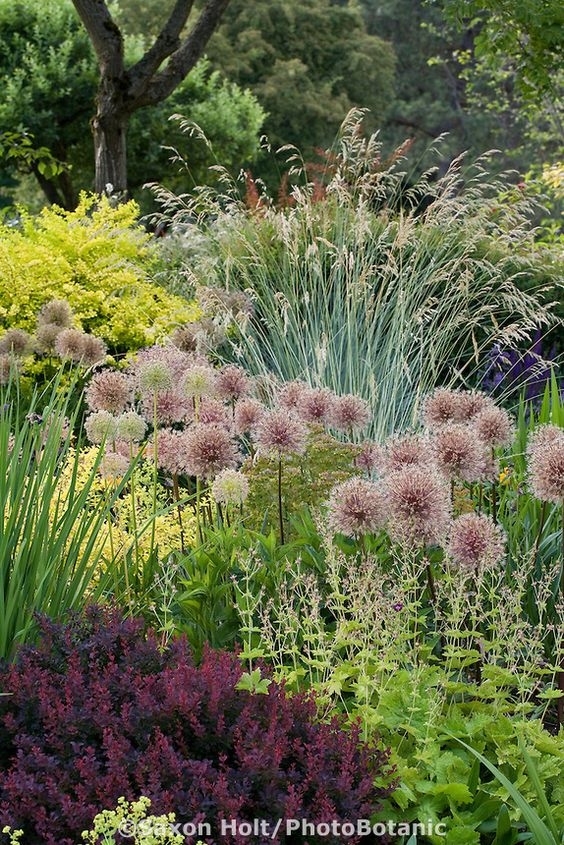 Plant tapestry of ornamental onions seedheads allium for Ornamental grass border plants