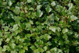 Alpine Currant (Ribes alpinum) - Selecting Shrubs for Your Home - University of Illinois Extension