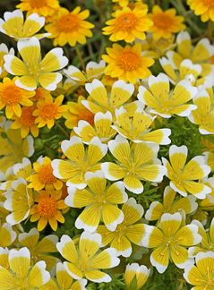 "Limnanthes douglasii ""Meadow Foam"""