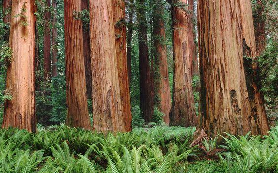 redwood - Buscar con Google