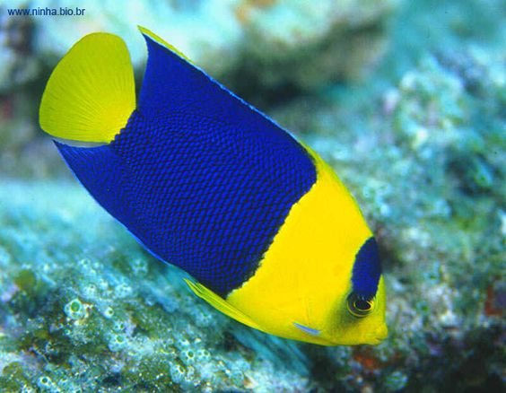 peixinho colorido