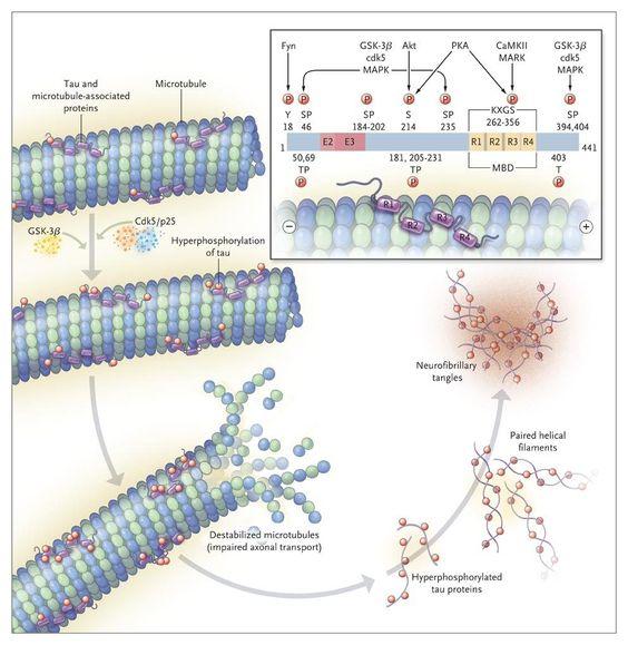 「tau protein wiki」の画像検索結果