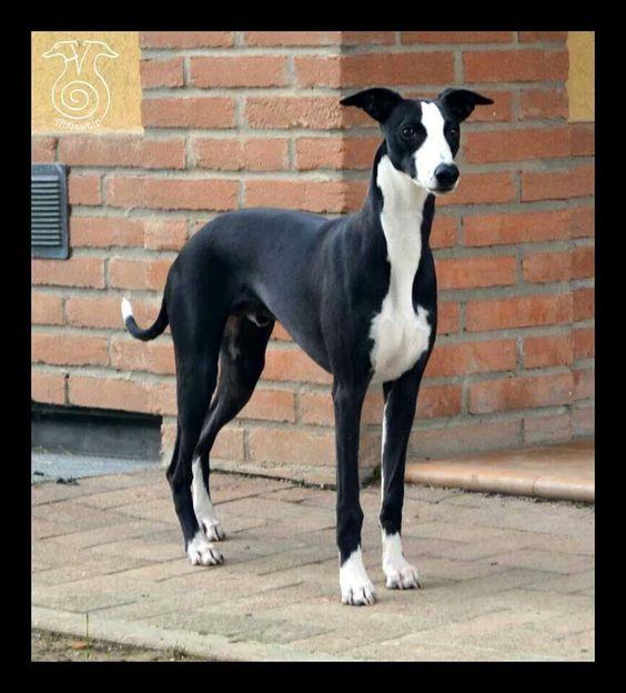 italian greyhound black and white wwwimgkidcom the