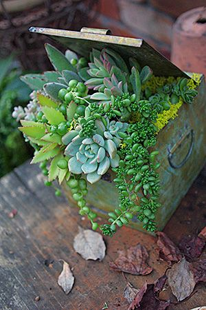 Succulents in old metal box