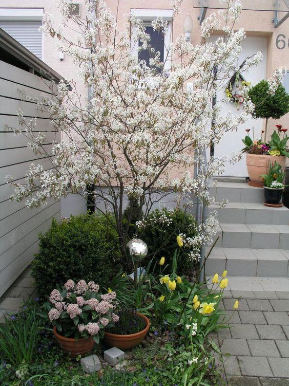 Felsenbirne mit Blüten