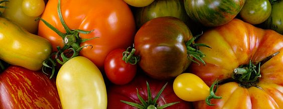 We love trying out new tomato varieties, but we also have our favorites,  tomatoes we grow year after year. Here are a few of our top tomatoes for  2016 and beyond. Comment to let us know your favorites!