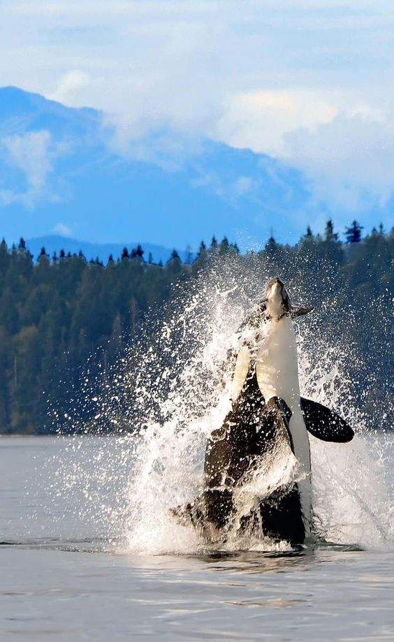 Orca Whale breaching in the Discovery Passage, near Campbell River