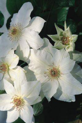 "Clematis ""Mrs. George Jackman"", Cream White Flowers."