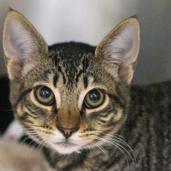 Cat Kittens For Adoption In San Diego Kitten Adoption Cats And Kittens Puppy Adoption