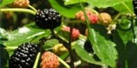 How to Grow Thornless Blackberries | eHow
