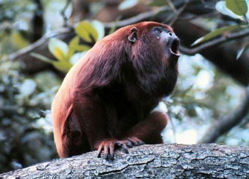 Siyah Uluyan Maymun, Yeni Dünya maymunları grubundan olan örümcek maymungiller primat familyasındandır.   Maymunlar, Primat, Örümcek