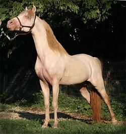 Perlino duns will generally look the same as a perlino, but they will have dun markings, including dorsal stripe and leg bars. And their manes and tails may possibly have a bit more color in them due to the dorsal running through them.: