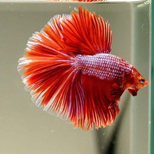 Live Betta Fish Royal Red Dragon Ohm Premium Grade From Thailand Ebay Everythingaboutbettafish Betta Fish Betta Fish