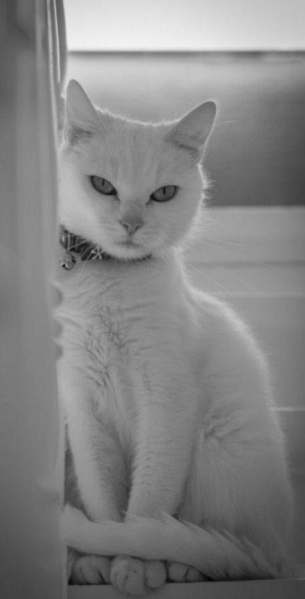 white #cat