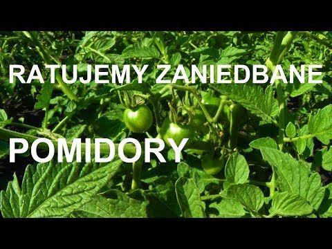 Jak Uratowac Zaniedbane Pomidory Youtube Youtube