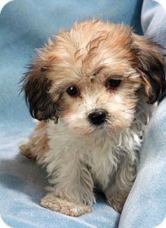... /Shih Tzu Mix Puppy for Sale in St. Louis, Missouri - Seth Bich Tzu