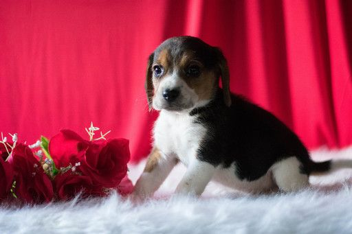Beagle Puppy For Sale In Kent Oh Adn 65132 On Puppyfinder Com Gender Male Age 6 Weeks Old Puppies For Sale Beagle Puppy Beagle