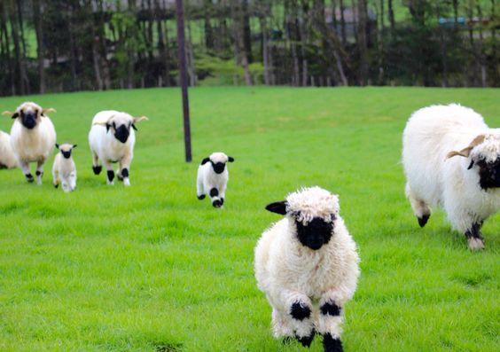 Whitehall Valais Blacknose Sheep www.whitehallblacknosesheep.com #sheep #lambs #valaisblacknosesheep