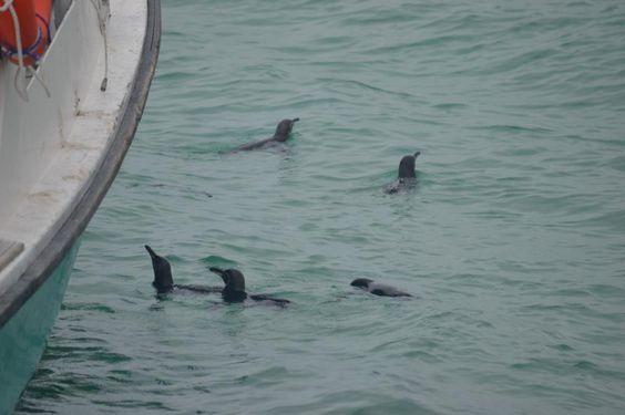 Galapagos Penguins swimming on Isabela Island