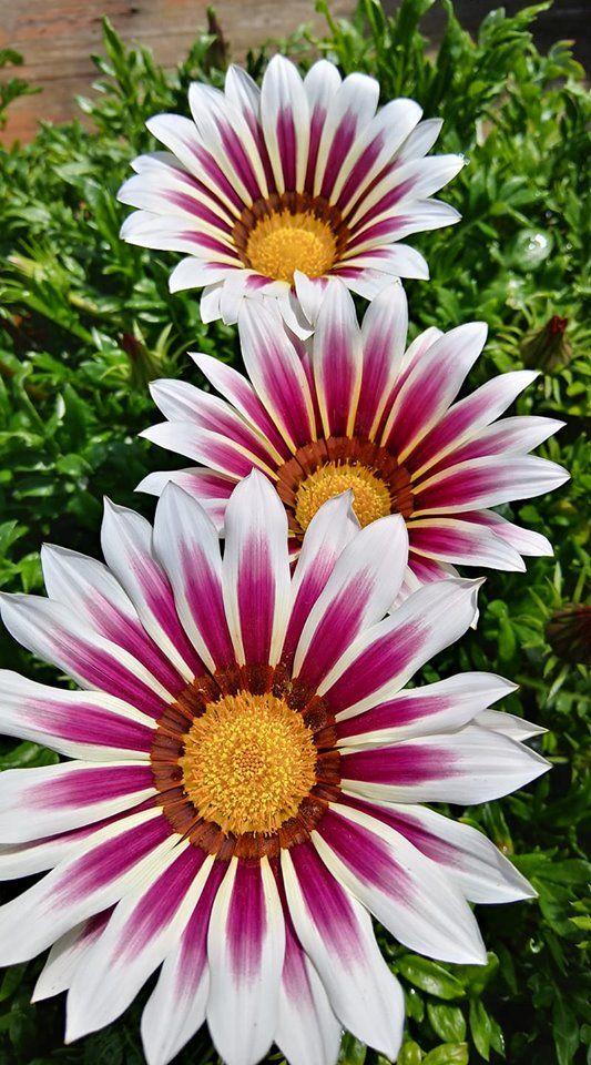 Gazanias Gazania Flowers Flowers Photography Beautiful Flowers