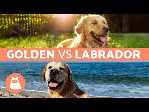 Golden Vs Labrador Differences Between Labrador Retriever And Golden Retriever Youtube Labrador Dog Labrador Dog Training Videos