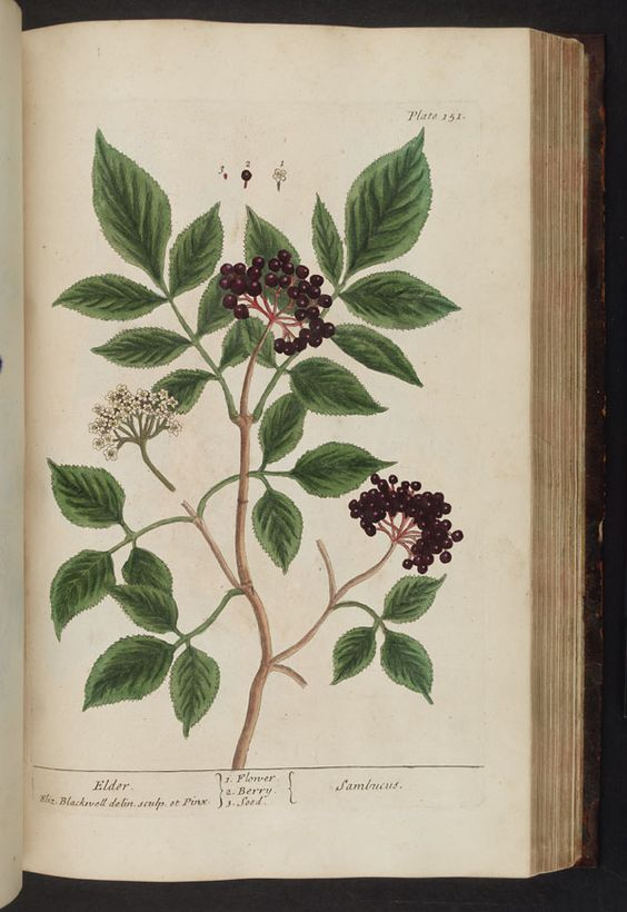 Archive of tons of botanical drawings. This is an Illustration of Sambucus (Elder)