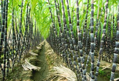 sugar cane that can be used as a biofuel or food