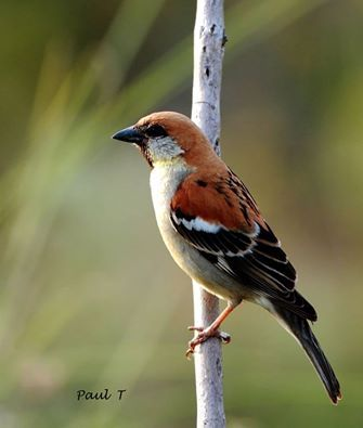 The russet sparrow (Passer rutilans), also called the cinnamon or cinnamon tree sparrow, is a passerine bird of the sparrow family Passeridae. A chunky little seed-eating bird with a thick bill, it has a body length of 14 to 15 cm (5.5–5.9 in). Its plumage is mainly warm rufous above and grey below. It exhibits sexual dimorphism, with the plumage of both sexes patterned similarly to that of the corresponding sex of house sparrow.