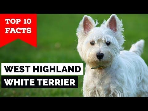 West Highland White Terrier Top 10 Facts Westie Youtube