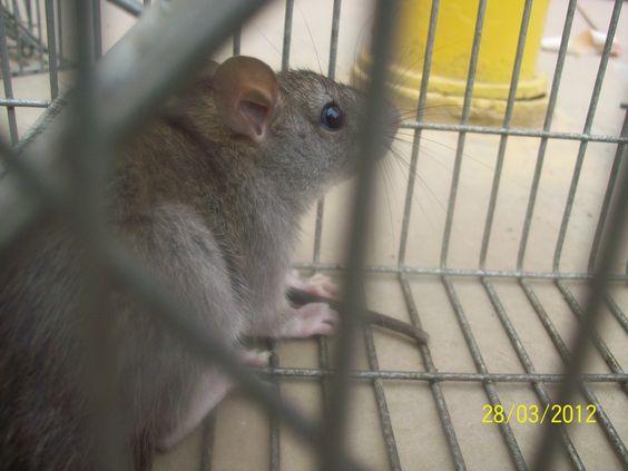Nuestra Jaulas Tomahawk para captura viva de roedores