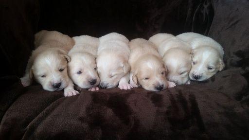 Litter Of 6 Golden Pyrenees Puppies For Sale In Boles Ar Adn