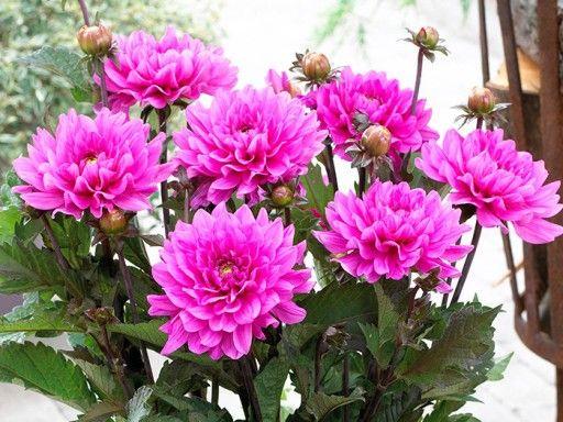 Dalia Dahlia Melody Fanfare 1 Szt Super Cena 7851227454 Allegro Pl Dahlia Melody Plants