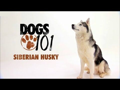 Dogs 101 Siberian Husky Eng Youtube Husky Dogs 101