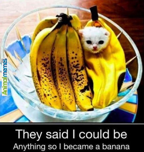 Cat memes Banana for scale...