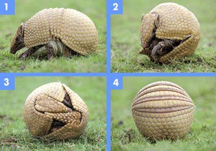 TATU - ou ARMADILHO em Portugal, é um mamífero de hábitos nocturnos. Ficam, de dia nas tocas que escavam no solo com suas fortes unhas. Caracteriza-se pela armadura que cobre o corpo. PARA SE DEFENDER DE PREDADORES ENROLA-SE, FICANDO NUMA BOLA (tatu bola).Há várias espécies. COME pequenos insetos (formigas, cupins, besouros e suas larvas),  pequenos invertebrados, raízes, alguns vegetais e frutos.