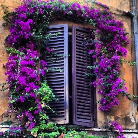 We painted our shutters purple and now our purple bougainvillea is abloom. Bonita....: