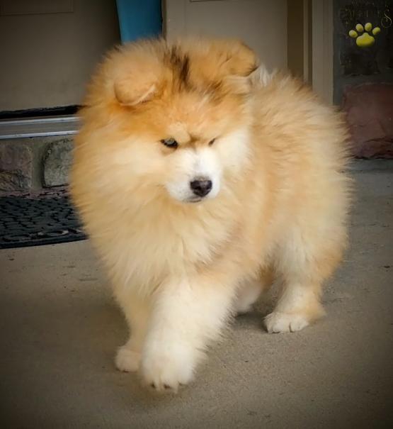 Toby Pomsky Puppy For Sale In Tracy Ca Pomsky Puppies Pomsky Puppies For Sale Puppies For Sale