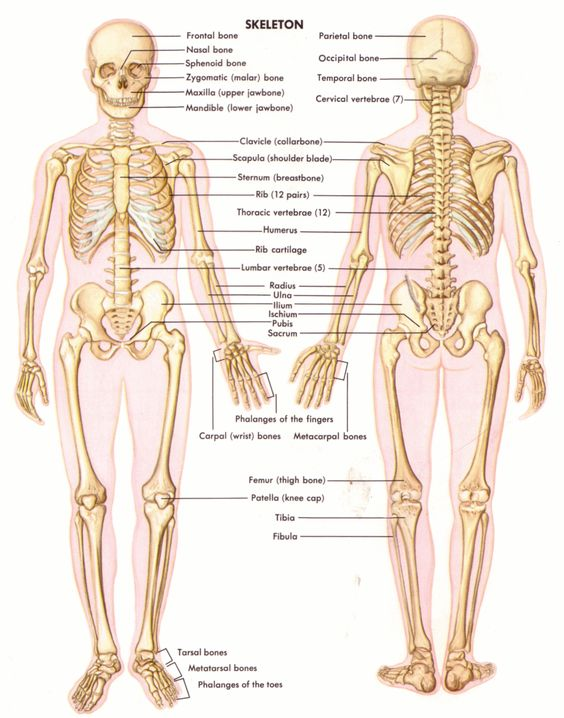 Human Anatomy Charts - Inner Body Anatomy, Muscle Anatomy, and Reproductive Anatomy