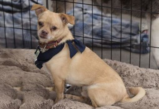Colorado Springs Co Chihuahua Meet Timmy A Dog For Adoption