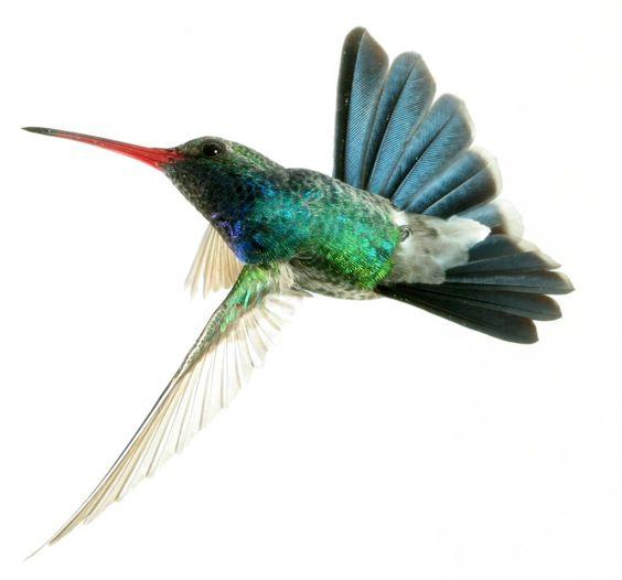 hummingbird watercolor - Buscar con Google