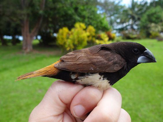 Bismarck Munia (Lonchura melaena) | Papua New Guinea