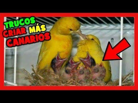 Trucos Para Criar Mas Canarios En La Cria De Canarios Como Criar Canarios Muy Fácil Youtube Canarios Perico Australiano Cuidar Animales