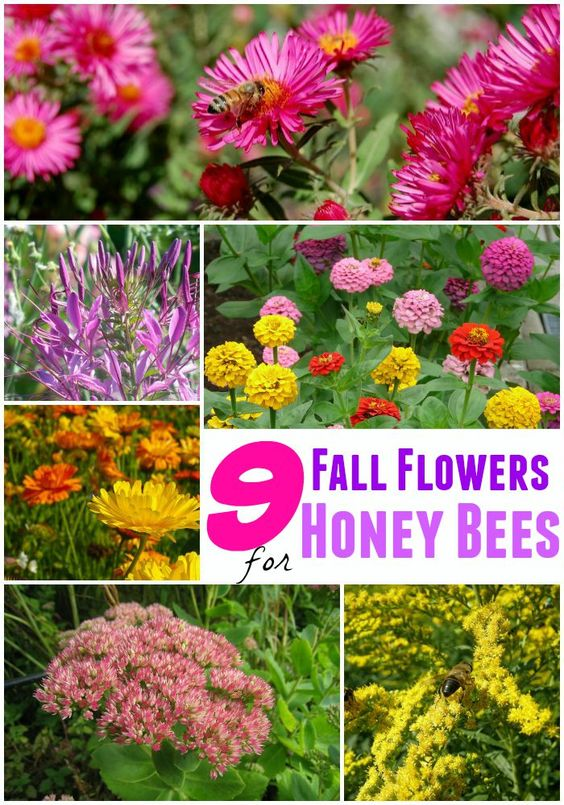 Best fall flowers for bees gardens fall flowers and happy for Popular fall flowers
