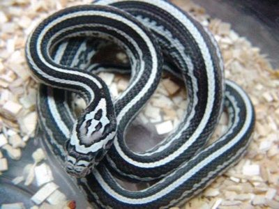 anery tessera corn snake - photo #6