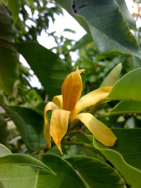 Gambar Bunga Cempaka Kuning Anak Pokok Cempaka Kuning Jual Produk Tanaman Bunga Cempaka Kuning Murah Dan Terlengkap Cempaka Kuning Bu Bunga Tanaman Gambar