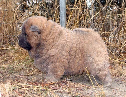 Beshia Chow Chows Chow Chow Breeder Alberta Canada Dogs And