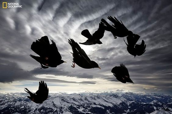 """Not a Western US bird, it's a """"cousin"""" of the crow. But it's an award winner, view recommended by www.AZdesertTrips.com   Photo by Alessandra Meniconzi / National Geographic  2015 Photo Contest: Acrobat of the Air. He says """"A flock of Alpine choughs (Pyrrhocorax graculus), mountain-dwelling birds, performs acrobatic displays in the air. I was able, during a windy day, to immortalize their impressive flight skills."""""""